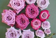 Popular Lavender Rose Varieties / Board highlighting some of our and our client's favorite lavender rose, and spray rose varieties.
