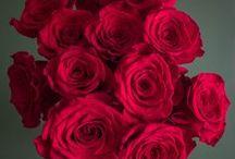 Popular Red Rose Varieties