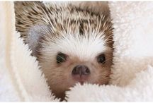 // hedgehogs