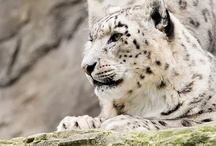 Snow Leopards / My favorite animal...EVER! The snow leopard is a moderately large cat native to the mountain ranges of Central Asia. They are beautiful and fierce and continues to illuminate the nature world.