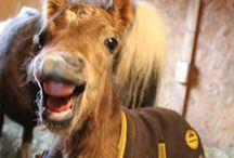 Shetlanders / Dit is een bord over het super schattige ponyras de shetlandpony!!