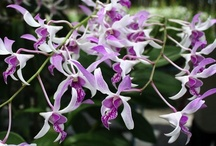 Orchids of Thailand. / Orchids in Thailand.
