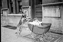 Dogs in Chicago History / Canines in Chicago throughout the years.