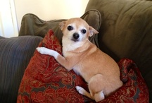 My Chihuahua - Lilliput / A love affair with my Chihuahua