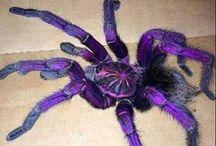 Purple Bloom Tarantula / Beauty of the purple bloom