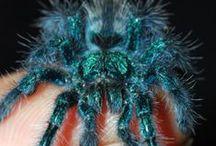 Versicolor Pinktoe Tarantula