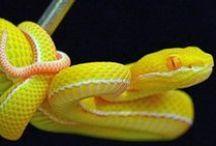 White Lip Tree Viper