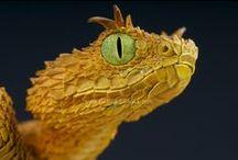 Horned Bush Viper