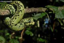 Great Lakes Bush Viper