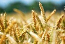 Los cereales adelantan su floración por el cambio climático / Botánica, Ecología, Cambio Climático, Medio Ambiente