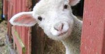 Sheep ❦