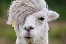 D'où provient la laine?