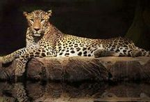 Animals***LEOPARDOS