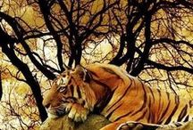 Animals***TIGRES
