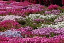 ::Bushes, Grasses, Ground Covers, Shrubs and Trees / by Debra (angelswhiskers) Creech