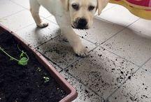 Marley / Labrador Retriever