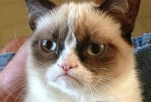 Grumpy Cat / The Humor