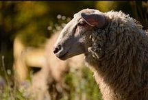 Sheep / One of my favourite animals.