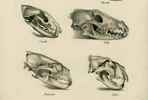 Zoological drawings