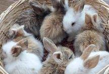 Bunny Fluffs / cute fluffy Bunnies