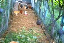 everything poultry / Fresh eggs from happy healthy and clean poultry.  / by pat papandreopoulos
