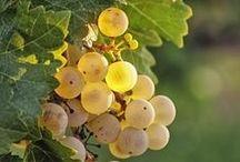 TUSCANY,GRAPES,WINE,VINEYARDS & ITALY / TUSCANY,GRAPES ,WINE,VINEYARDS & ITALY  / FAIRY HILL