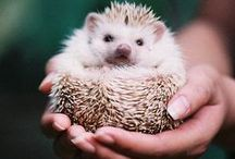 Hedgehogs♥
