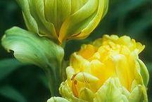 Flower Tulipa