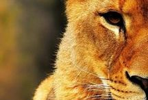 Lions are awesome