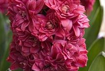 Flower Hiacynt