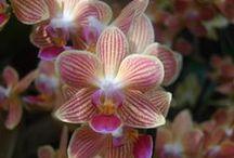 Orchidées / D'ici et d'ailleurs