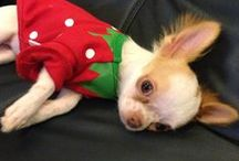 I Adore Chihuahua's! / dogs, chihuahua breed, puppies, pets / by Paula Miller