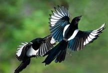 Magpies, Crows, Ravens...If it Flies