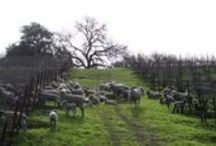 Sheep / by Joseph Phelps Vineyards