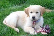Golden Puppy Love / For those who can't resist a Golden Retriever <3