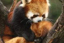 Red Pandas / I'm in love with them ♥
