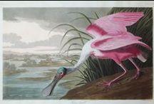 Original 19th c. Audubon Engravings