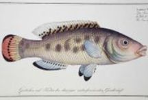 """Marcus Elieser Bloch Fish  / """"Ichthyologie, Ou Histoire Naturelle, Generale Et Particulière, Des Poissons"""" Bloch's landmark work is the most famous and most remarkable of all books on fish. It was published in twelve volumes, with 432 hand-colored plates. Each plate gives the name of the fish in several langauges, with Latin names included to settle any classification problems."""