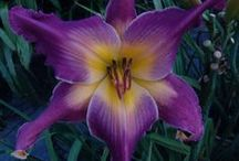 DAY LILY * I R I S