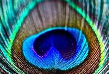 17 Peacock - Pauw