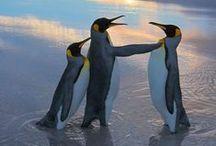 17 Penguins - Pinquin