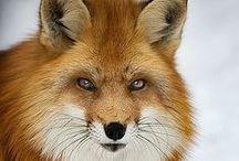17 Fox - Vossen