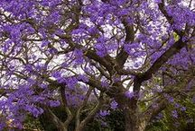 Lavender / Inspired by the color of the Jacaranda tree, from South Africa.