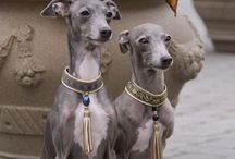 Italian Greyhound Love / A place to gather images of this beautiful being.