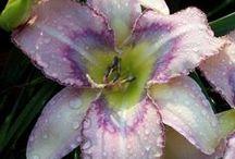 Daylilies / by Jennifer Shimola