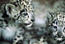 Tiger,Leopard & Jaguar