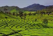 Indonesië - Java / Een reis op Java is zeer afwisselend. West-Java kenmerkt zich door de theetuinen in het westen en de kleurrijke bevolking. Centraal-Java wordt beheerst door de sultanssteden Jogyakarta en Solo (Surakarta), de Borobudur en de Prambanan. Oost-Java heeft veel plantages, zoals tabak-, koffie- cacao- en peperplantages.