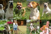 Marina's Blue American Bulldogs in South Africa / www.americanbulldog.co.za