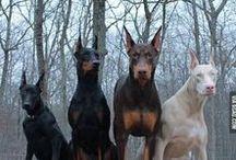 Animals_Doberman
