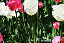 Ottawa Tulip Festival 2014 / Taken by: A-jay Photography & Edited ©™. Date: May 18th & 19th, 2014 Place: Dow's Lake Pavilion